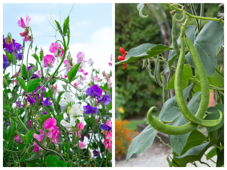 Sweet peas and runner beans companion planting