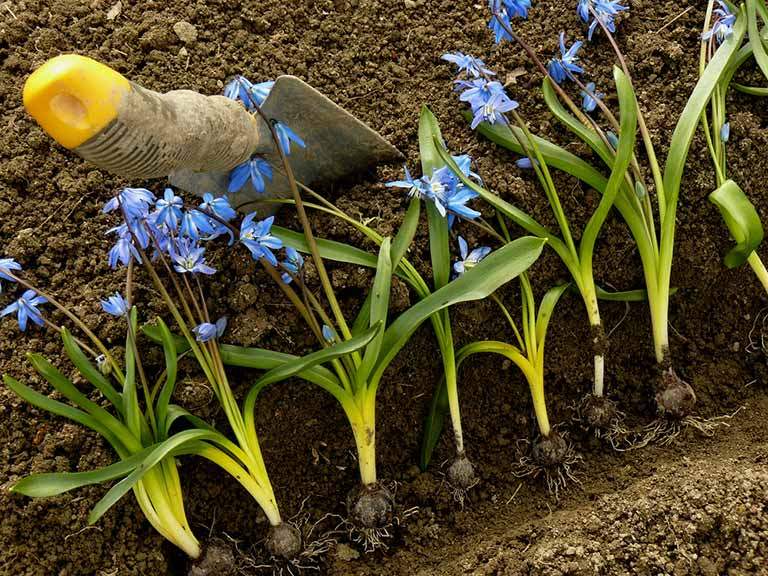 Siberian squill on a flower bed
