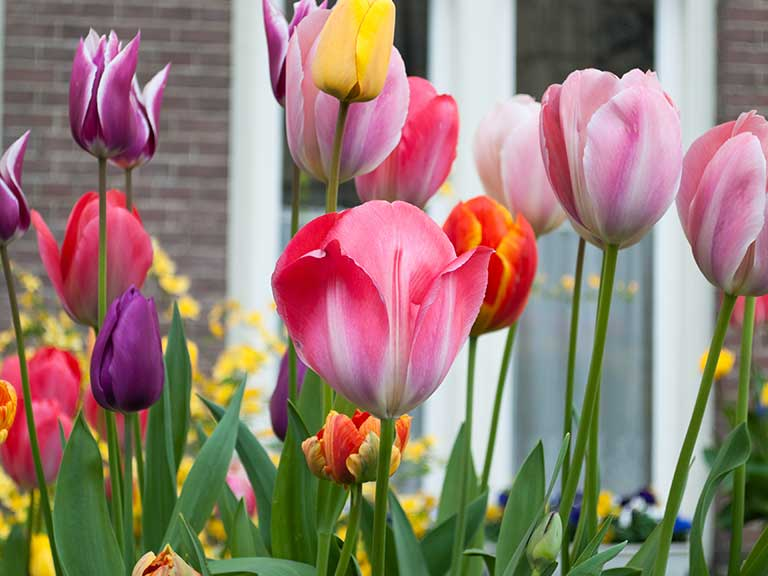 Tulips growing outside a house