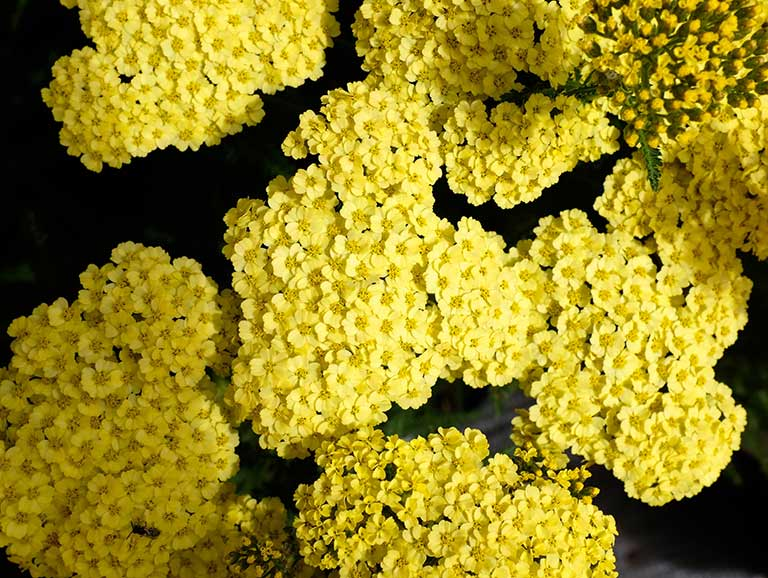 Plants that do well on poor soil saga achillea plant mightylinksfo