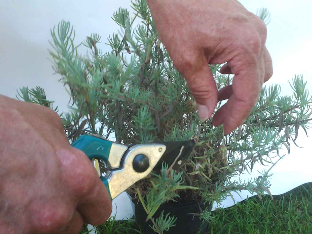 French Lavender How To Prune It Home Gardening Advice Saga