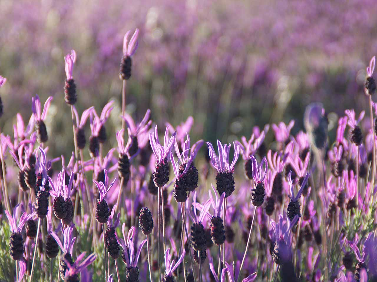 Lavandula stoechas known as French or Spanish lavender