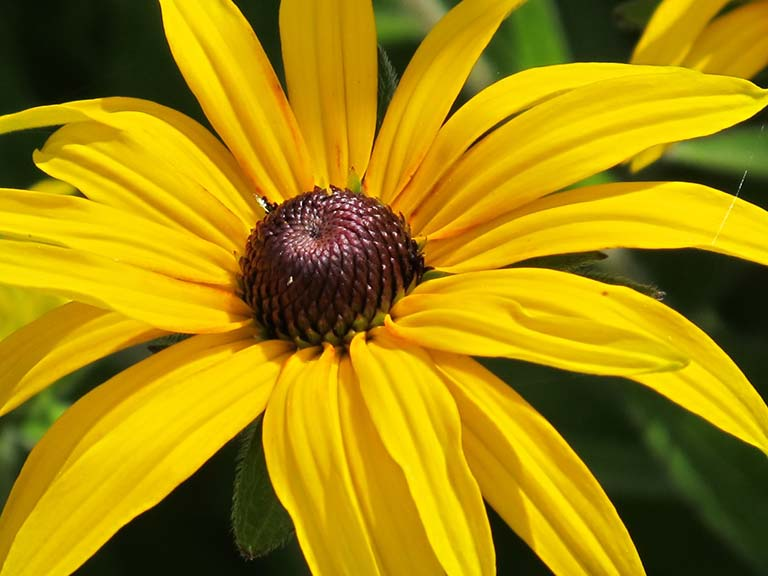 The vibrant yellow Rudbeckia hirta 'Indian Summer'