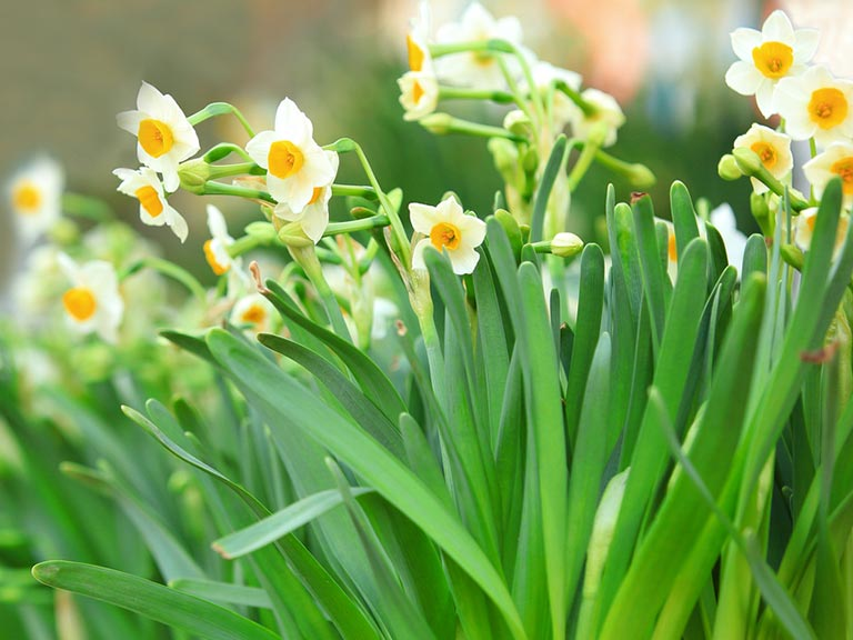 Yellow narcissi in spring garden