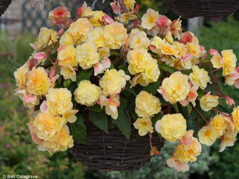 Begonia 'Sweet Spice' (citrus)