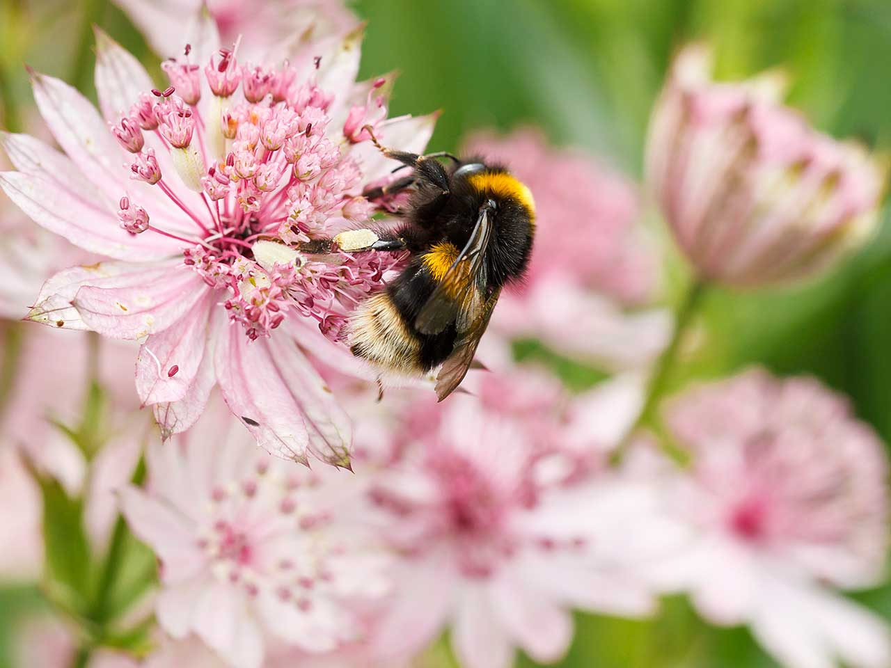 Buff-tailed male bumblebee on Astrantia