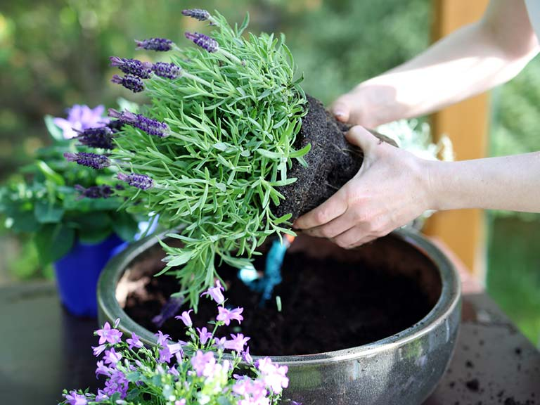 Lavender plant being potted