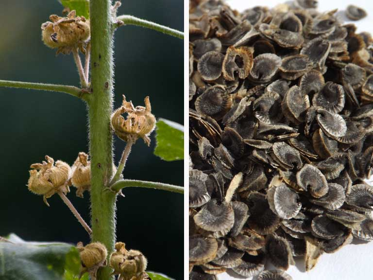 Hollyhock seed pods and seeds