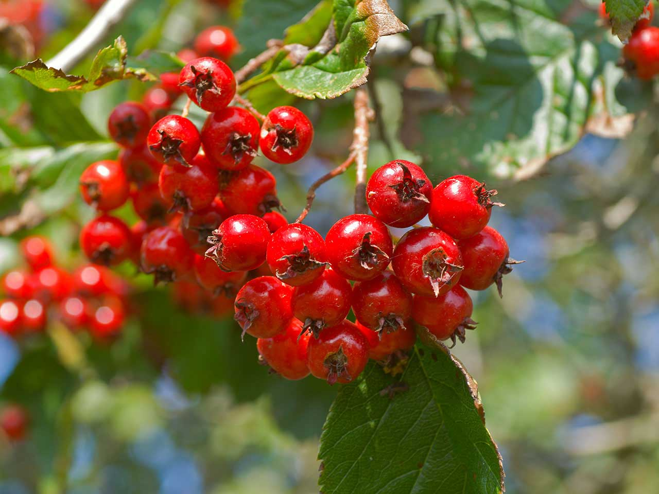 Ornamental hawthorn tree branch with red fruits
