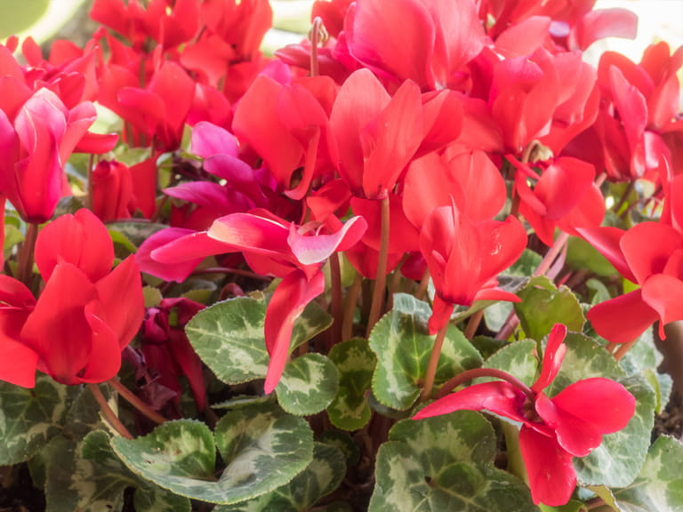 Winter bedding plant ideas saga non hardy cyclamen persicum mightylinksfo