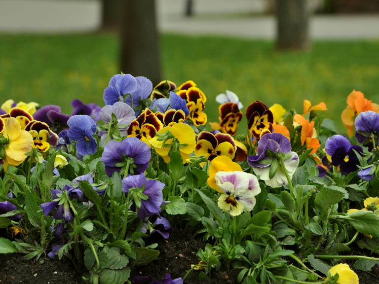 Winter-flowering pansies