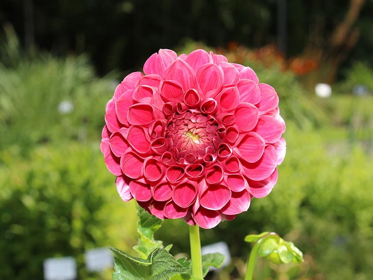 How To Store Dahlias In Winter Saga