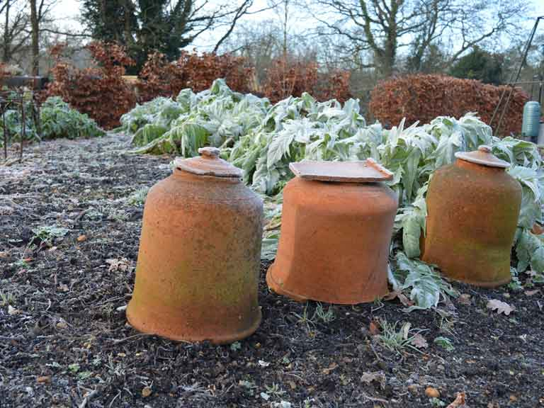 Forcing rhubarb in January