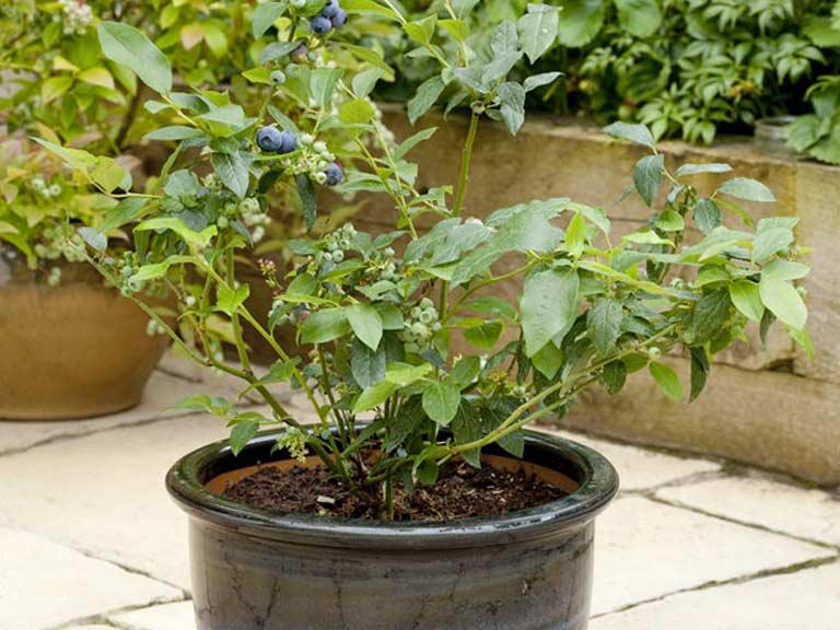 Growing blueberries in a pot