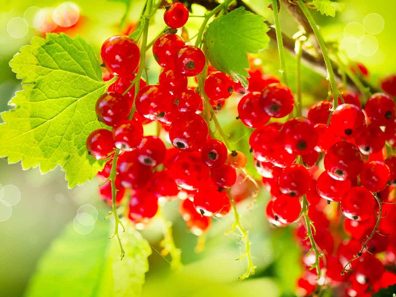 How To Grow Redcurrant Bushes Saga