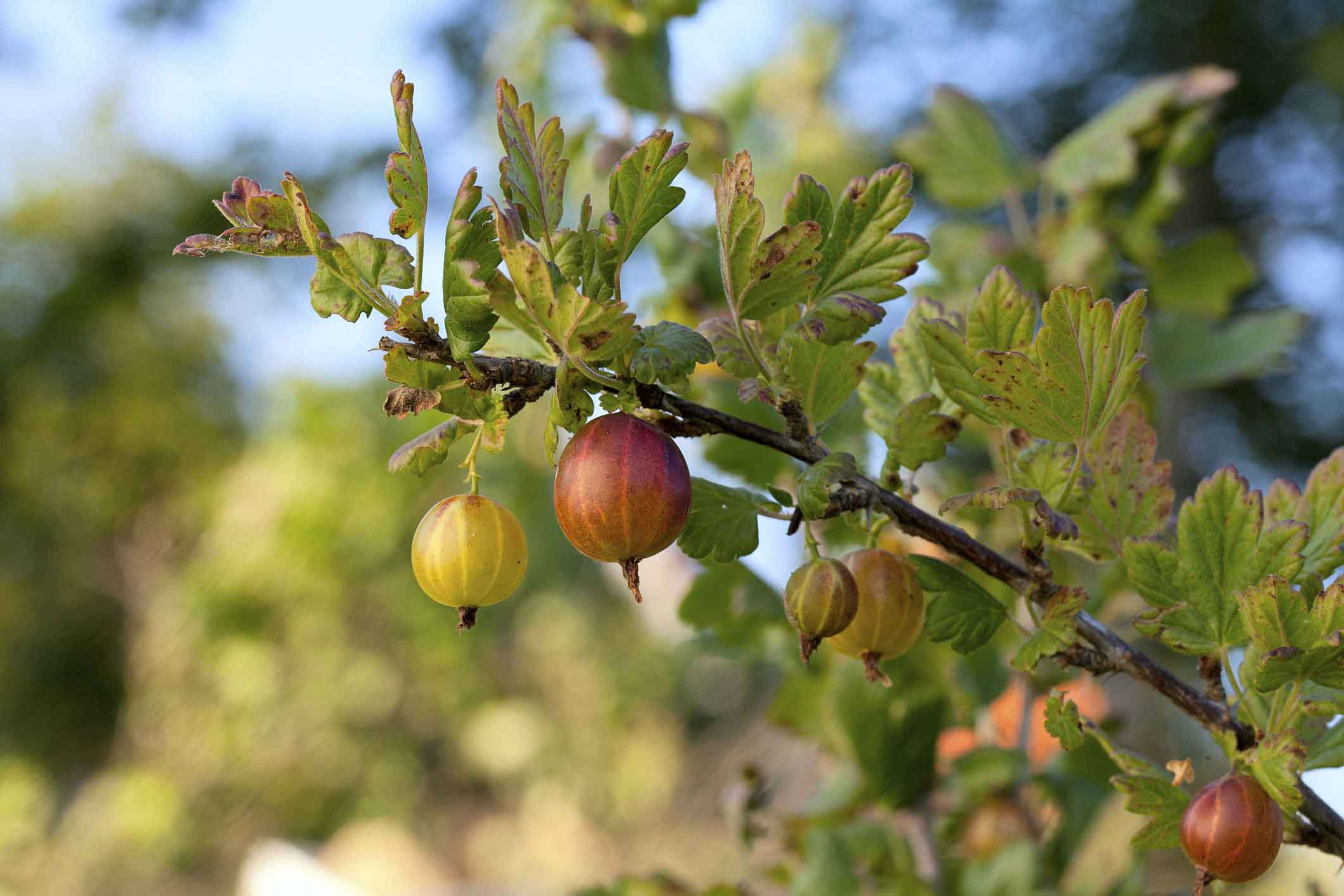 Gooseberries on tree branch