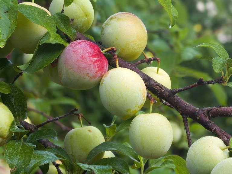 fruit trees uk