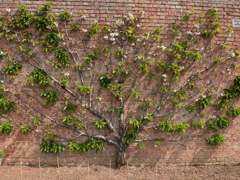 Cherry tree growing against a wall
