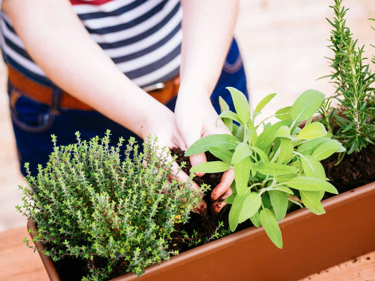 how to grow evergreen herbs  saga, Beautiful flower