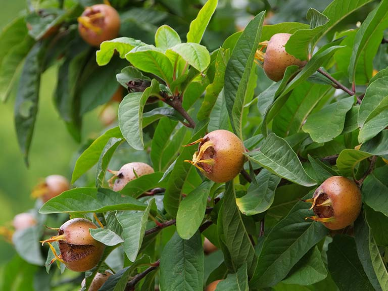 Medlar Fruit Tree