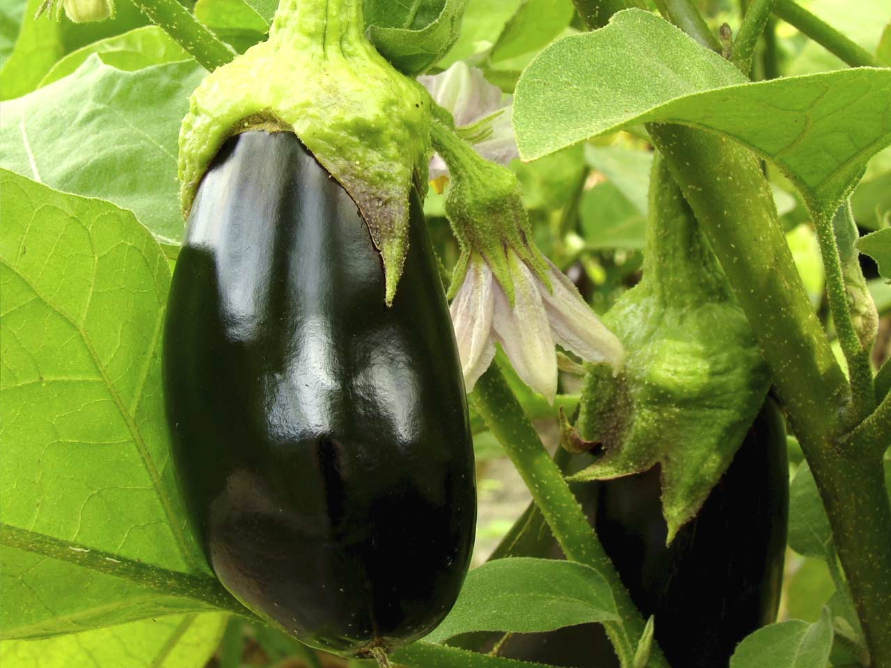 Eggplant in the greenhouse: growing and care 55