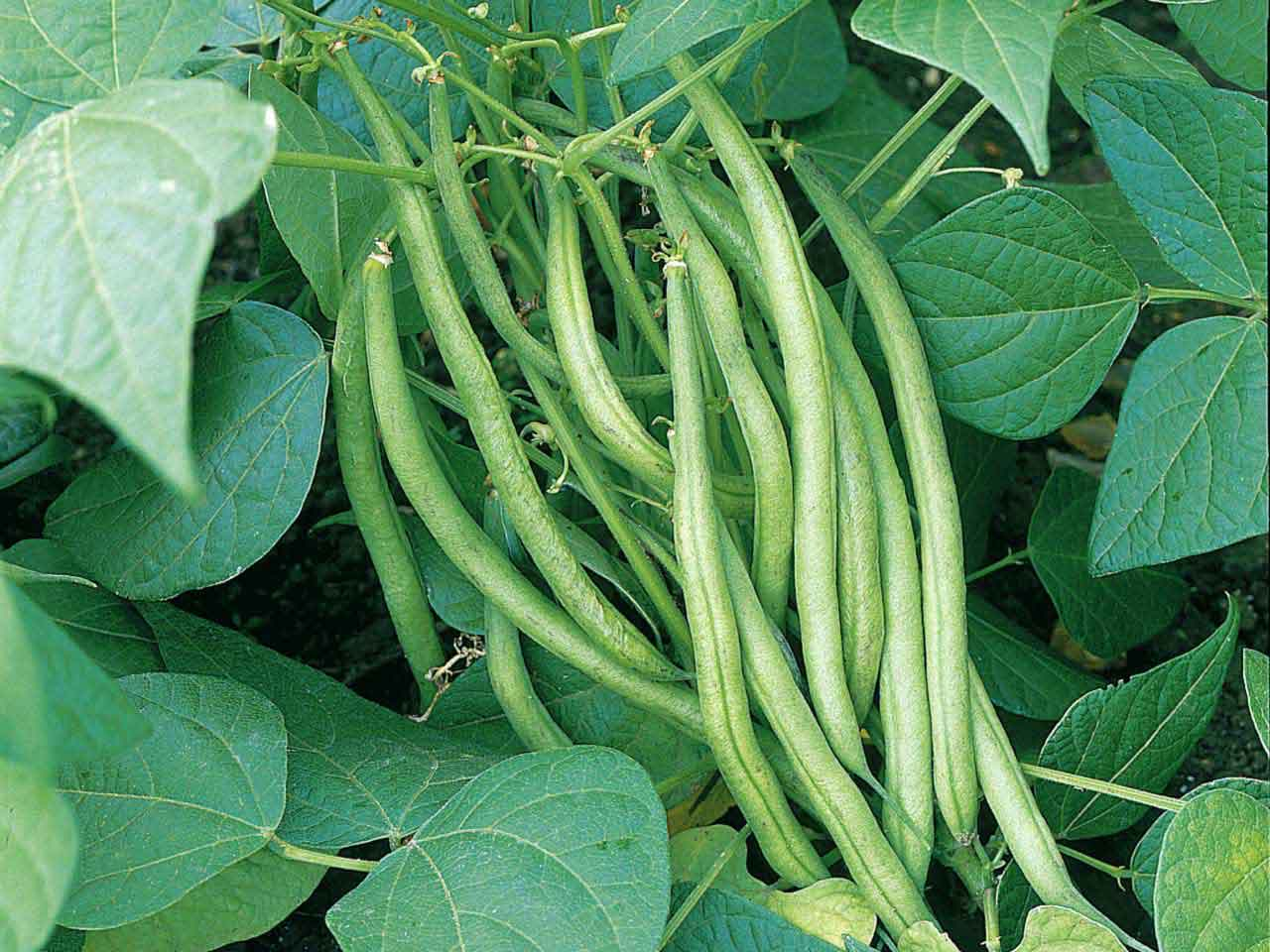 Dwarf French bean 'Stanley' AGM