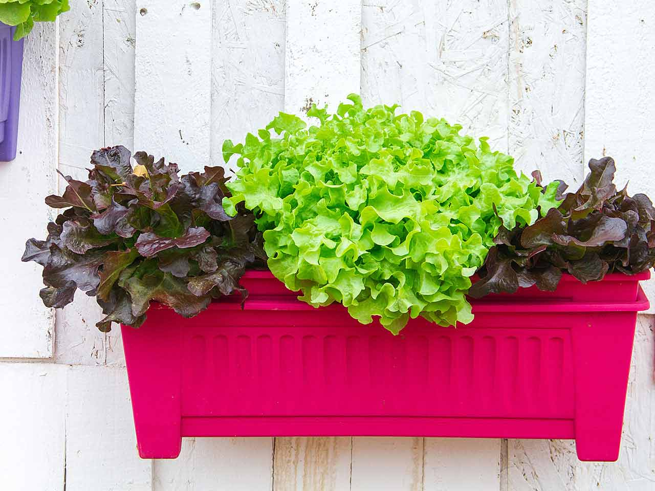 Mixed salad leaves growing in large box