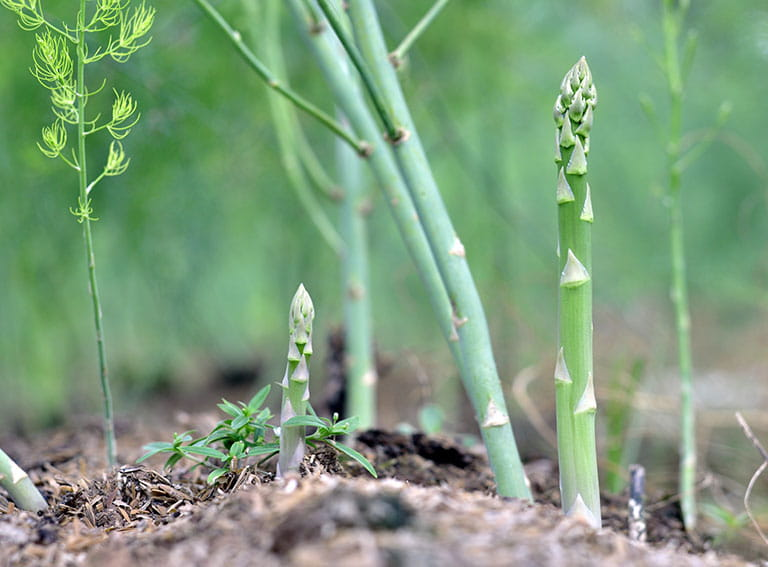 Asparagus growing in soil