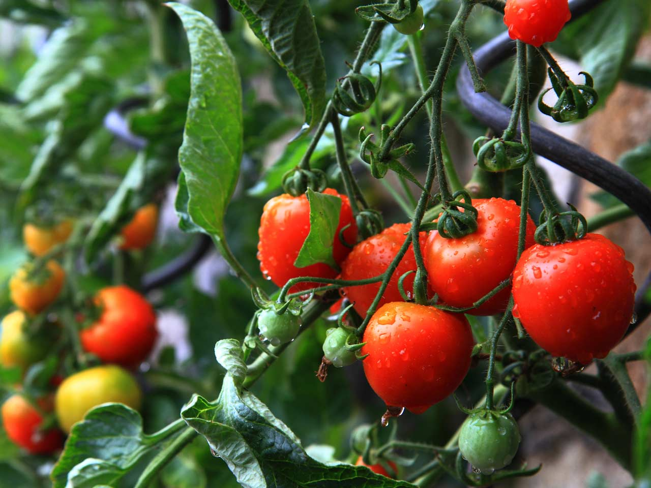 Best Tomato Varieties To Grow At Home And How To Care For Them Saga