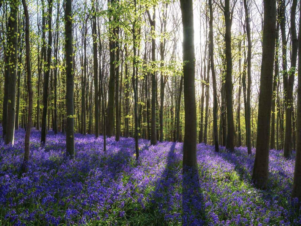 Britain S Best Bluebell Woods Saga
