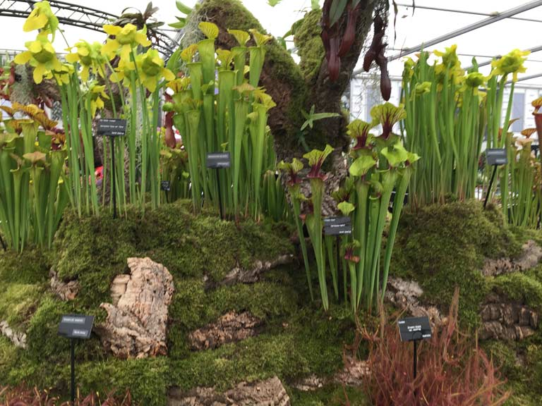 Carnivorous plants at Chelsea