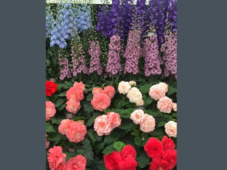 Begonias and Delphiniums
