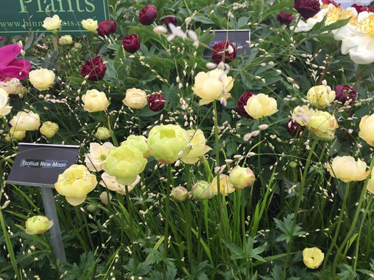 Globeflower and Peony of the Year 2017