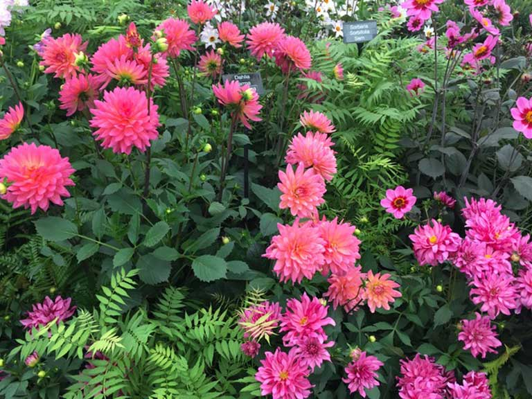 National Dahlia Collection won gold