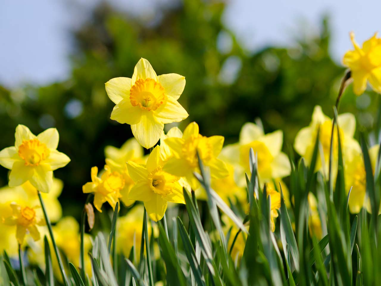 Daffodils Are Something To Trumpet About on Spring Daffodil Craft
