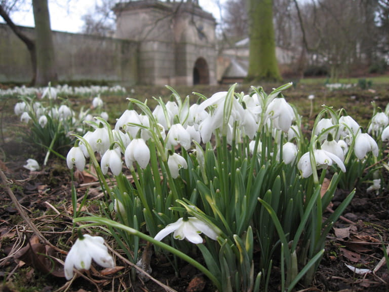 Snowdrops at Attingham Park