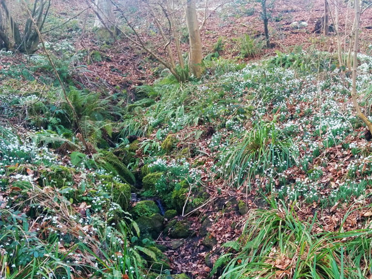 Snowdrops at Brockhill Country Park