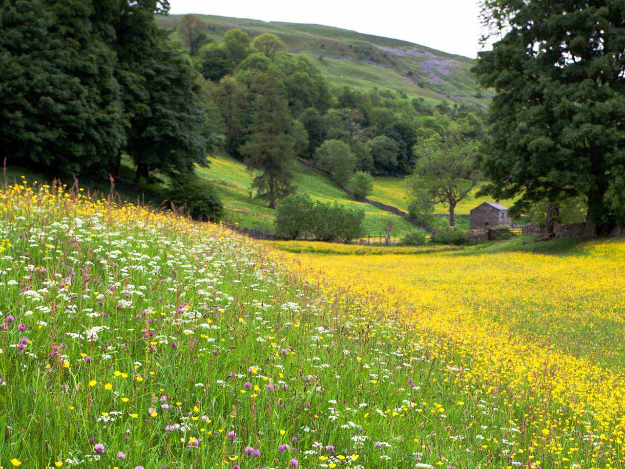 Wildflowers in Muker, Yorkshire