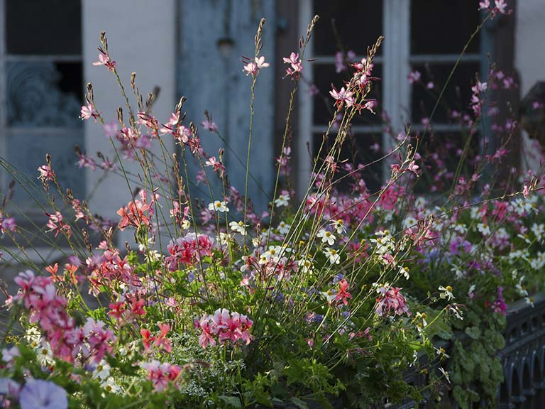 Gaura lindheimeri flower border in front of cottage