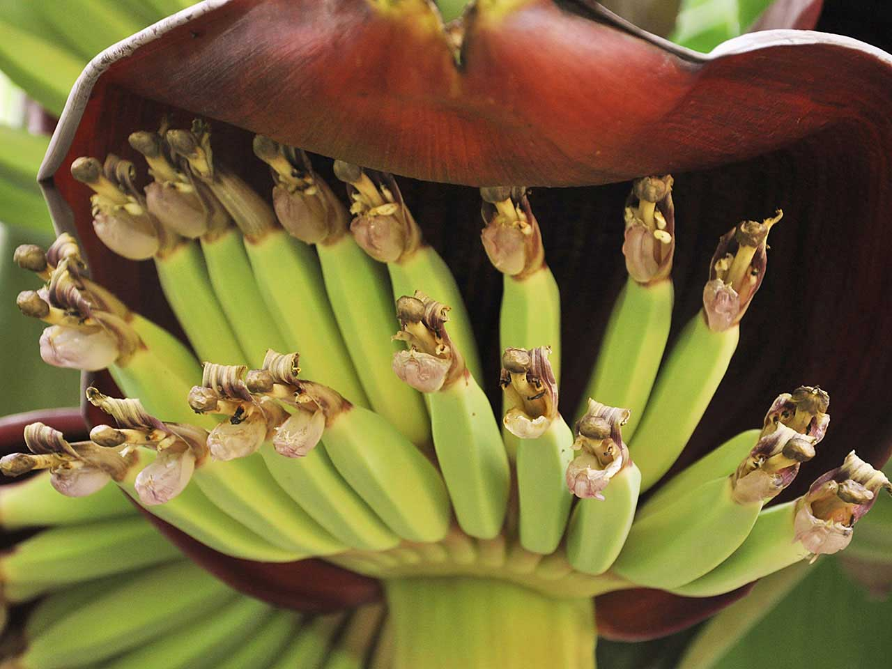 Musa basjoo, the hardy Japanese banana plant