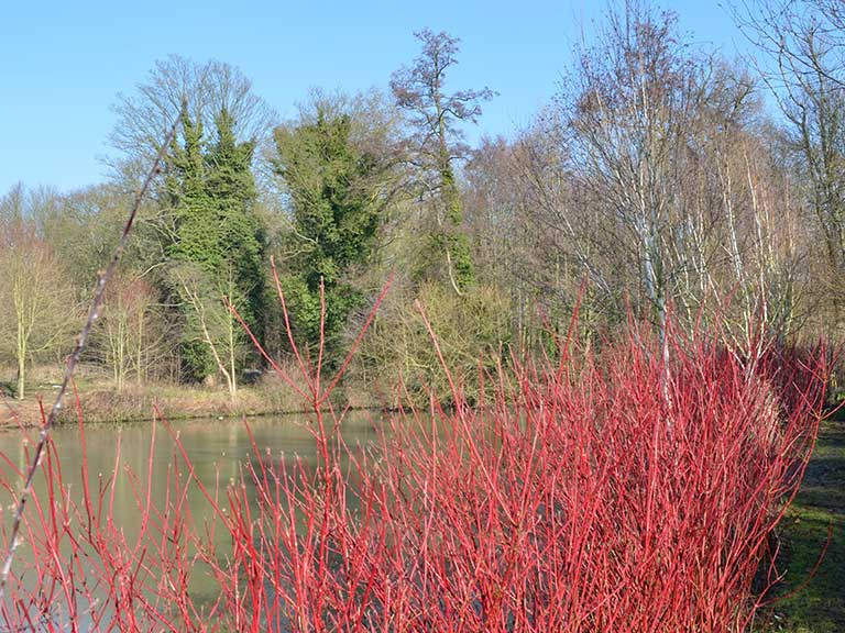 Red Cornus Alba 'Dogwood' winter plant