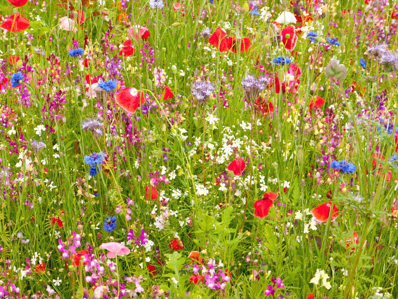 How to make a meadow