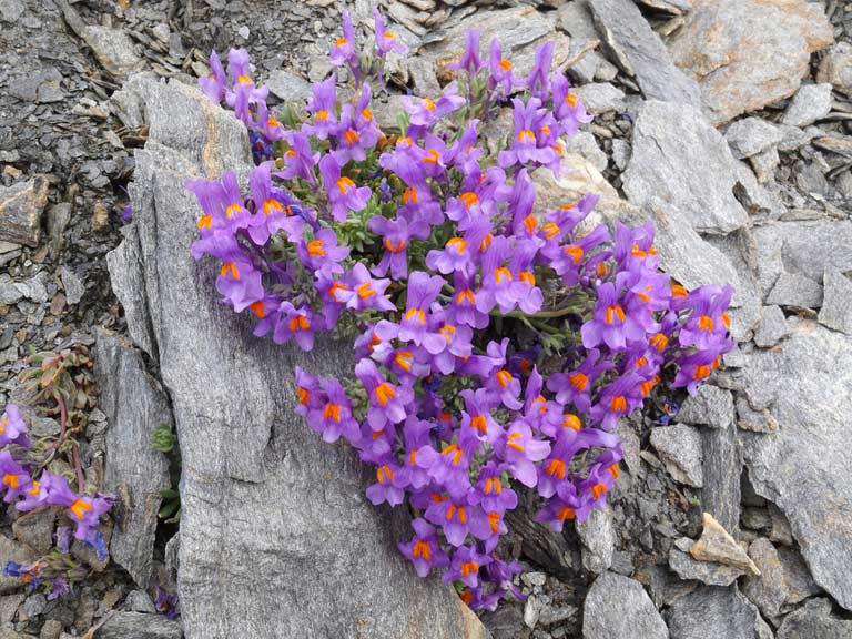 Linaria alpine, the alpine toadflax