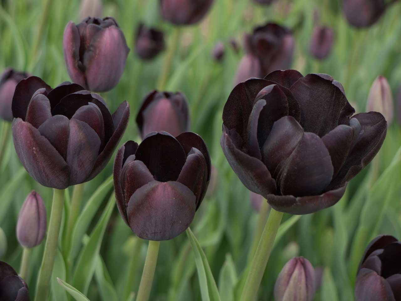 Black U0027Dark Nightu0027 Tulips