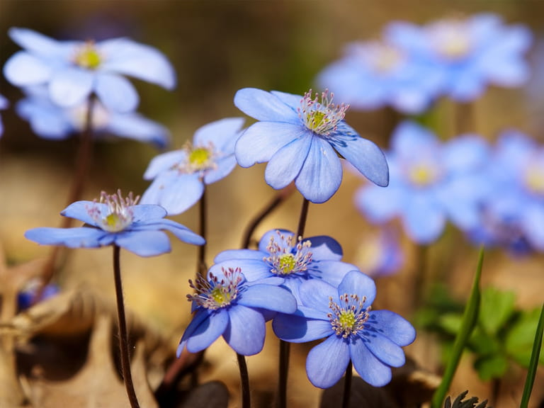 Blue flowers for your garden saga hepatica nobilis mightylinksfo