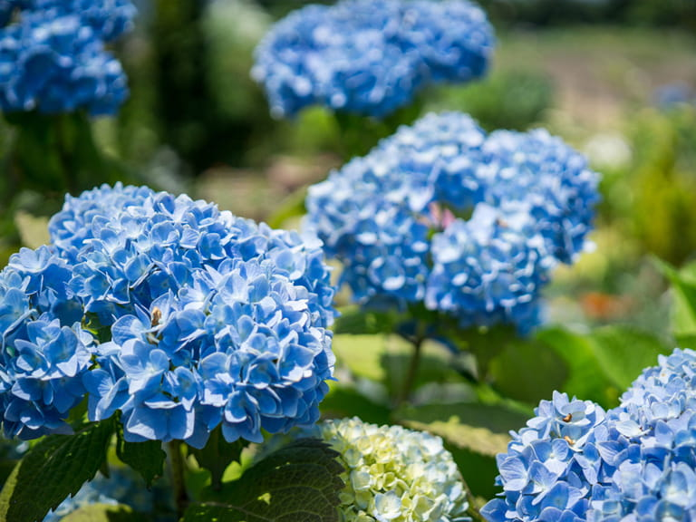 Blue flowers for your garden saga hydrangea only blue on acid soil mightylinksfo