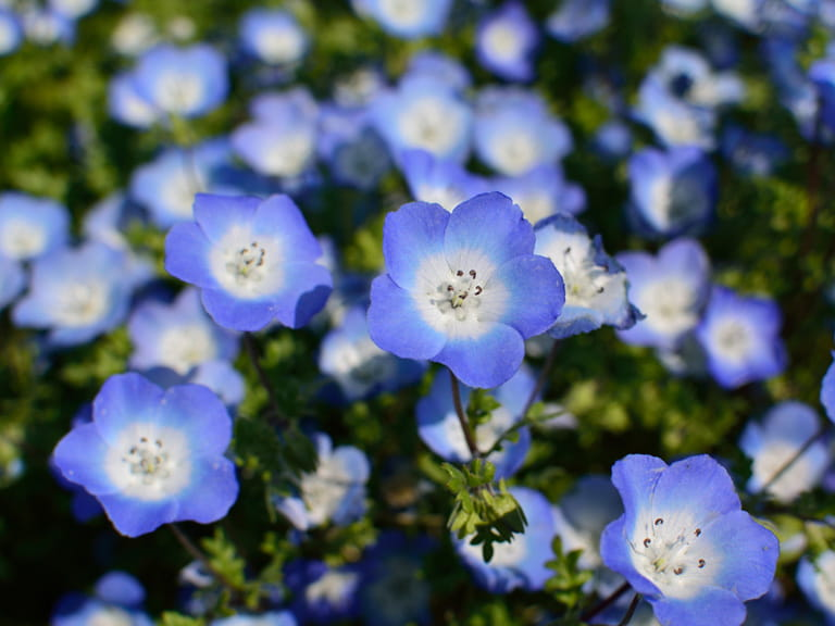 Blue flowers for your garden saga nemophila mightylinksfo