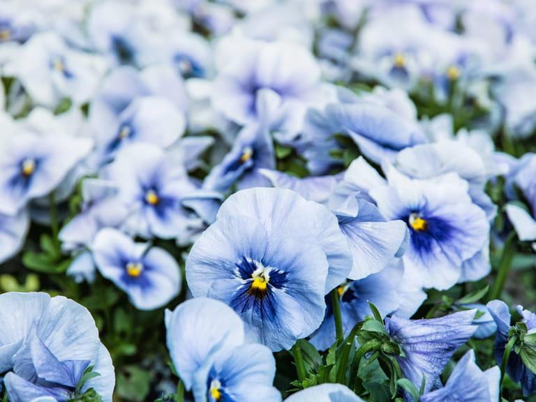 Blue Flowers For Your Garden Saga