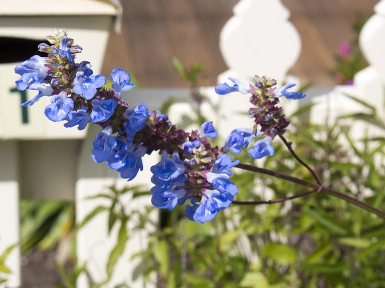 Blue flowers for your garden saga salvia uliginosa mightylinksfo
