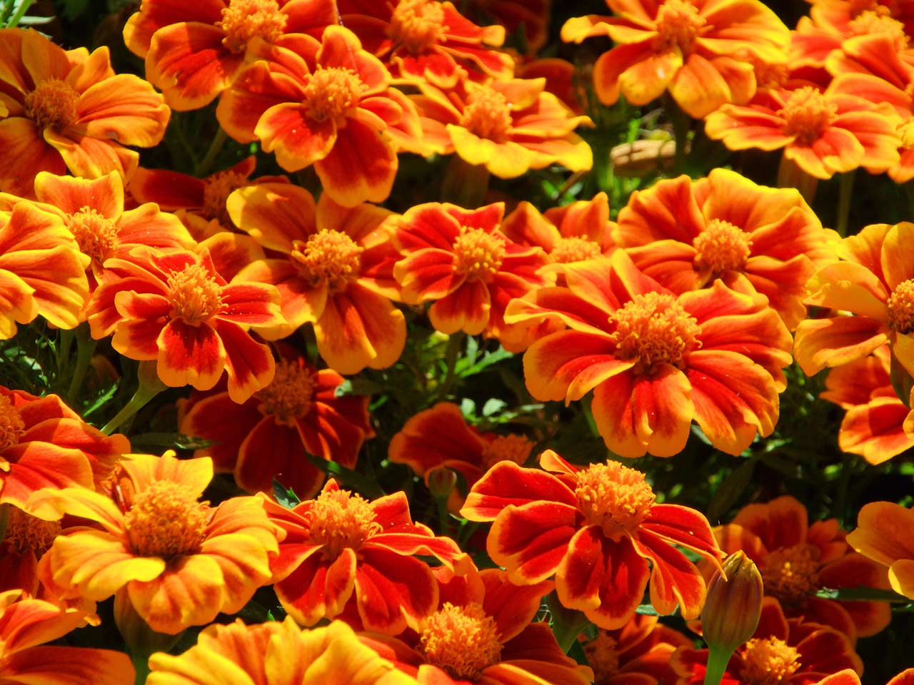 Orange flowers for your garden saga african marigolds or tagetes izmirmasajfo